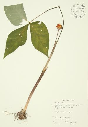 (Arisaema triphyllum - JAG 0020)  @11 [ ] Copyright (2009) Steven Newmaster University of Guelph BIO Herbarium