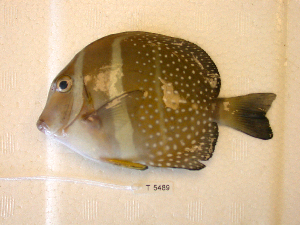 (Acanthurus guttatus - KUT 5489)  @14 [ ] Unspecified (default): All Rights Reserved  University of Kansas Biodiversity Institute (KUBI) Unspecified