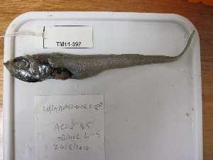 (Coryphaenoides sp - TM11-397)  @12 [ ] CreativeCommons - Attribution Non-Commercial Share-Alike (2011) SAIAB SAIAB