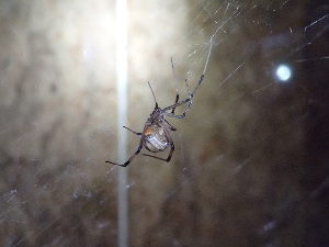 (Latrodectus geometricus - LP10)  @16 [ ] Unspecified (default): All Rights Reserved  Unspecified Unspecified