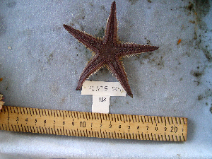 (Astropecten armatus - MTI-SCCWRP-00092)  @13 [ ] CreativeCommons - Attribution Non-Commercial Share-Alike (2009) Cheryl A. Brantley Los Angeles County Sanitation District