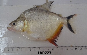 (Serrasalmus marginatus - LAR227)  @14 [ ] Copyright  LAR-IBR Unspecified