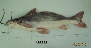 (Pinirampus - LAR395)  @13 [ ] Copyright  LAR-IBR Unspecified