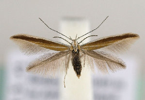 (Coleophora svenssoni - TLMF Lep 14498)  @14 [ ] CreativeCommons - Attribution Non-Commercial Share-Alike (2014) Peter Huemer Tiroler Landesmuseum Ferdinandeum