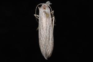 (Pterolonchidae - 08-JDWBC-1124)  @13 [ ] CreativeCommons - Attribution (2010) Unspecified University of British Columbia