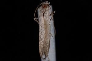 (Pterolonchidae - 08-JDWBC-1159)  @13 [ ] CreativeCommons - Attribution (2010) Unspecified University of British Columbia