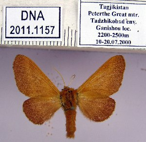 (Malacosoma prima - 2011.1157)  @15 [ ] Unspecified (default): All Rights Reserved  2011.1157 Unspecified