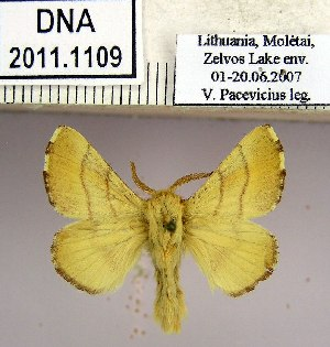 (Malacosoma neustria neustrium - 2011.1109)  @14 [ ] Unspecified (default): All Rights Reserved  2011.1109 Unspecified