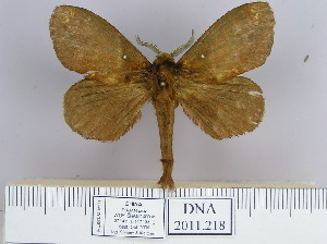 (Dendrolimus kikuchii - 2011.218)  @15 [ ] Unspecified (default): All Rights Reserved  Unspecified Unspecified