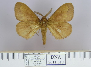 (Dendrolimus punctata pr - 2011.313)  @15 [ ] Unspecified (default): All Rights Reserved  Unspecified Unspecified