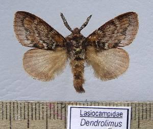 (Dendrolimus liliput - LAS-DR 7)  @15 [ ] Unspecified (default): All Rights Reserved  Unspecified Unspecified