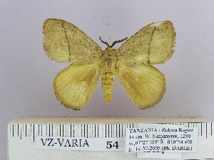 (Dendrolimus angulata Gaede - 06455-2010-16)  @11 [ ] Unspecified (default): All Rights Reserved  Unspecified Unspecified