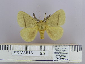 (Dendrolimus angulata Gaede - 06455-2010-17)  @11 [ ] Unspecified (default): All Rights Reserved  Unspecified Unspecified