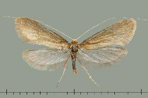 (Nematopogon argentellus - TLMF Lep 20502)  @11 [ ] CreativeCommons - Attribution Non-Commercial Share-Alike (2016) Peter Huemer Tiroler Landesmuseum