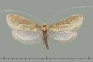 (Nematopogon argentellus - TLMF Lep 20504)  @11 [ ] CreativeCommons - Attribution Non-Commercial Share-Alike (2016) Peter Huemer Tiroler Landesmuseum