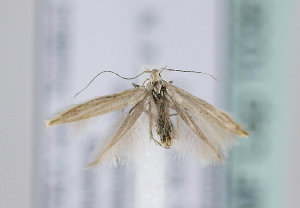 (Coleophora ramosella - TLMF Lep 10361)  @11 [ ] CreativeCommons - Attribution Non-Commercial Share-Alike (2013) Peter Huemer Tiroler Landesmuseum Ferdinandeum