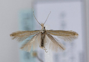 (Coleophora nr. pyrrhulipennella - TLMF Lep 12416)  @14 [ ] CreativeCommons - Attribution Non-Commercial Share-Alike (2013) Peter Huemer Tiroler Landesmuseum Ferdinandeum