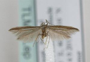 (Coleophora bilineella - TLMF Lep 13391)  @14 [ ] CreativeCommons - Attribution Non-Commercial Share-Alike (2014) Peter Huemer Tiroler Landesmuseum Ferdinandeum