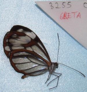 "( - MACN-Bar-Lep-ct 03255)  @12 [ ] Copyright (2014) MACN Museo Argentino de Ciencias Naturales ""Bernardino Rivadavia"""