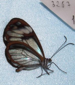 "( - MACN-Bar-Lep-ct 03267)  @13 [ ] Copyright (2014) MACN Museo Argentino de Ciencias Naturales ""Bernardino Rivadavia"""