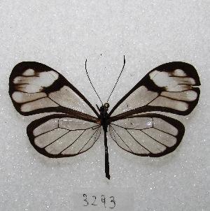 "( - MACN-Bar-Lep-ct 03293)  @13 [ ] Copyright (2014) MACN Museo Argentino de Ciencias Naturales ""Bernardino Rivadavia"""