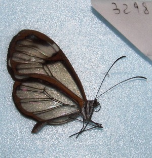 "( - MACN-Bar-Lep-ct 03298)  @13 [ ] Copyright (2014) MACN Museo Argentino de Ciencias Naturales ""Bernardino Rivadavia"""