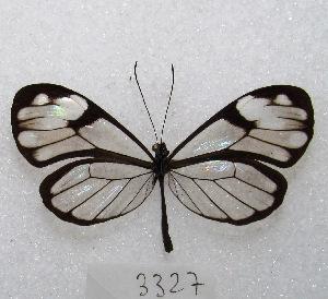 "(Greta andromica - MACN-Bar-Lep-ct 03327)  @15 [ ] Copyright (2014) MACN Museo Argentino de Ciencias Naturales ""Bernardino Rivadavia"""