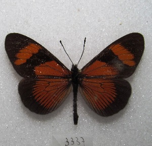 "(Altinote negra - MACN-Bar-Lep-ct 03337)  @11 [ ] Copyright (2014) MACN Museo Argentino de Ciencias Naturales ""Bernardino Rivadavia"""