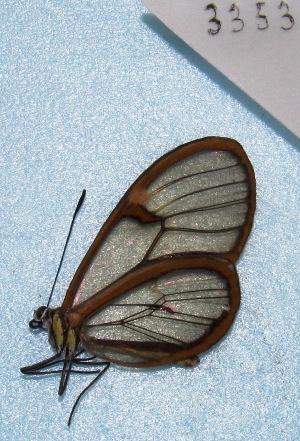 "(Episcada - MACN-Bar-Lep-ct 03353)  @13 [ ] Copyright (2014) MACN Museo Argentino de Ciencias Naturales ""Bernardino Rivadavia"""