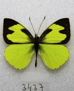 """(Leptophobia eleone - MACN-Bar-Lep-ct 03437)  @14 [ ] Copyright (2014) MACN Museo Argentino de Ciencias Naturales """"Bernardino Rivadavia"""""""