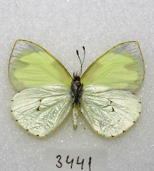 """(Leptophobia eleone - MACN-Bar-Lep-ct 03441)  @14 [ ] Copyright (2014) MACN Museo Argentino de Ciencias Naturales """"Bernardino Rivadavia"""""""