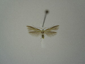 "(Coleophora albarracinica - BC KS 00206)  @12 [ ] Unspecified (default): All Rights Reserved (2012) Andreas K. Stuebner Andreas ""K."" Stuebner Research Collection"