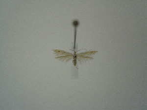 "(Coleophora internitens - BC KS 00264)  @13 [ ] Unspecified (default): All Rights Reserved (2012) Andreas K. Stuebner Andreas ""K."" Stuebner Research Collection"
