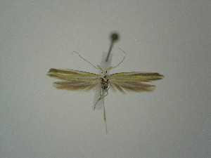 "(Coleophora famella - BC KS 00355)  @14 [ ] Unspecified (default): All Rights Reserved (2012) Andreas K. Stuebner Andreas ""K."" Stuebner Research Collection"