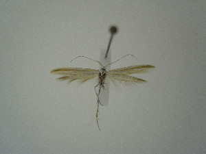 "(Coleophora solenella tariata - BC KS 00356)  @13 [ ] Unspecified (default): All Rights Reserved (2012) Andreas K. Stuebner Andreas ""K."" Stuebner Research Collection"