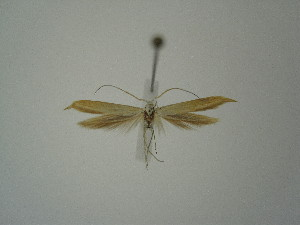 "(Coleophora anelpista - BC KS 00371)  @13 [ ] Unspecified (default): All Rights Reserved (2012) Andreas K. Stuebner Andreas ""K."" Stuebner Research Collection"