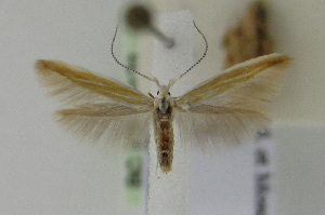 (Coleophora liriophorella - BC KS 00121)  @13 [ ] CreativeCommons - Attribution Non-Commercial (2010) Matthias Nuss Senckenberg Museum of Zoology, Dresden