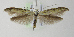 (Coleophora ornatipennella - BC KS 00129)  @15 [ ] by-nc - Creative Commons - Attribution Non-Commercial (2010) Matthias Nuss Senckenberg Museum of Zoology, Dresden