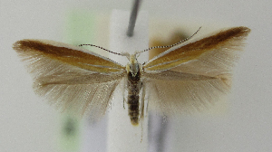 (Coleophora trifariella - BC KS 00048)  @13 [ ] by-nc - Creative Commons - Attribution Non-Commercial (2010) Matthias Nuss Senckenberg Museum of Zoology, Dresden