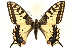 (Papilio machaon - MM05450)  @16 [ ] CreativeCommons - Attribution Non-Commercial Share-Alike (2010) BIO Photography Group Biodiversity Institute of Ontario
