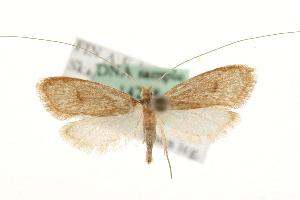 (Nematopogon metaxella - MM14248)  @15 [ ] CreativeCommons - Attribution Non-Commercial Share-Alike (2010) Unspecified Biodiversity Institute of Ontario