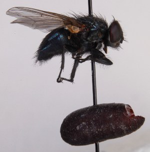 (Trypocalliphora - JP00919)  @13 [ ] by-nc (2014) Marko Mutanen University of Oulu
