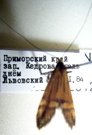 (Nemophora chalybeella - KOZ188)  @12 [ ] CreativeCommons - Attribution Non-Commercial (2012) Marko Mutanen University of Oulu