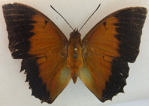 (Charaxes latona - USNM ENT 00643528)  @14 [ ] Unspecified (default): All Rights Reserved  Unspecified Unspecified