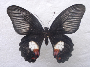 (Papilio ambrax - USNM ENT 00646001)  @14 [ ] Unspecified (default): All Rights Reserved  Unspecified Unspecified
