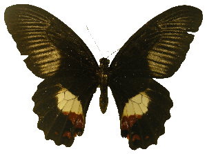 (Papilio ambrax - USNM ENT 00646003)  @14 [ ] Unspecified (default): All Rights Reserved  Unspecified Unspecified