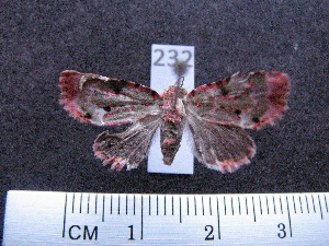 (Noctuidae spAS1 - MMZ0187)  @12 [ ] Copyright (2010) Mauricio M. Zenker Universidade Federal do Parana