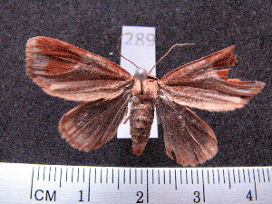 (Noctuidae spAS2 - MMZ0232)  @12 [ ] Copyright (2010) Mauricio M. Zenker Universidade Federal do Parana