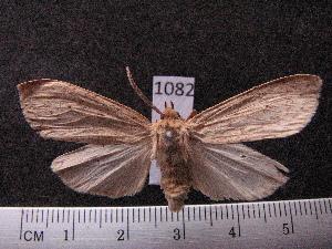 (Arctiinae sp. JAT04 - MMZ1245)  @12 [ ] CreativeCommons - Attribution Non-Commercial (2012) Mauricio M. Zenker UFPR