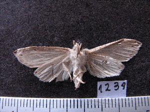 (Arctiinae sp. JAT12 - MMZ1169)  @12 [ ] CreativeCommons - Attribution Non-Commercial (2012) Mauricio M. Zenker UFPR